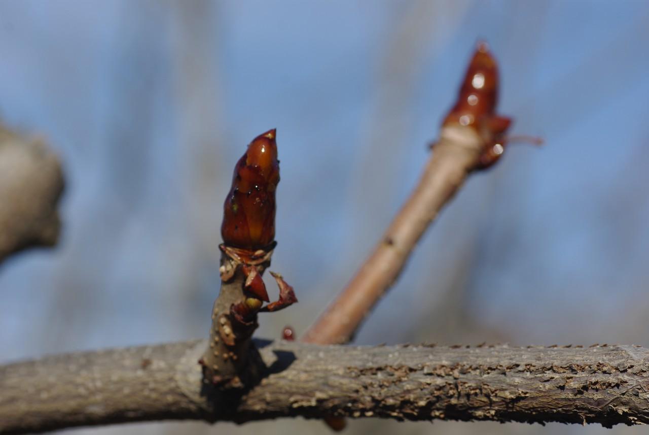 トチノキの芽